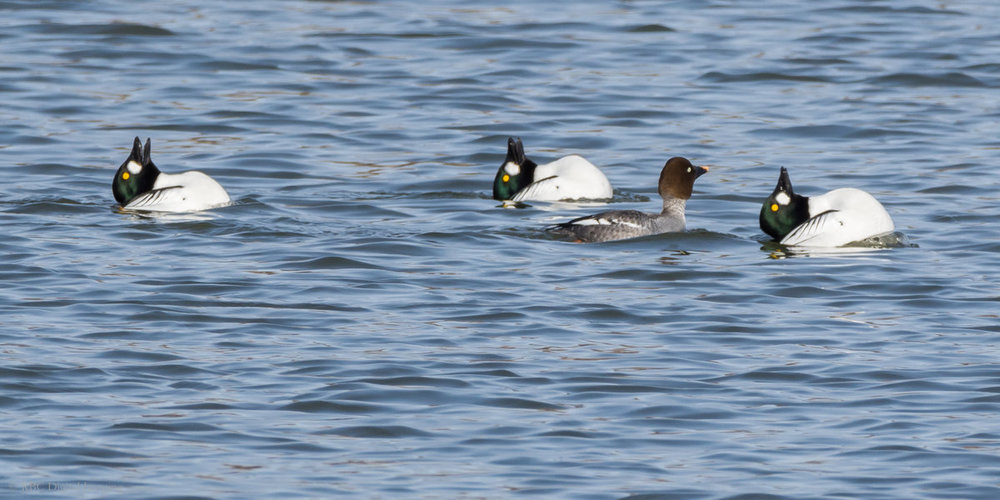 Common Goldeneye EcoPark-7223851.jpg