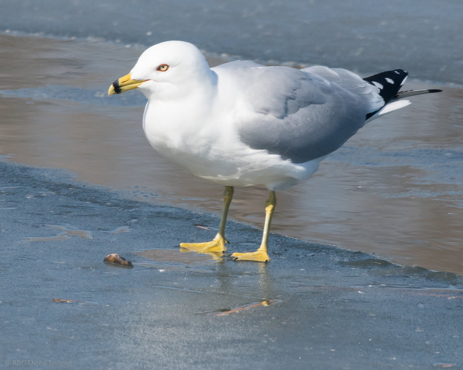 Ring-billed Gull Yuck HVT-754652.jpg