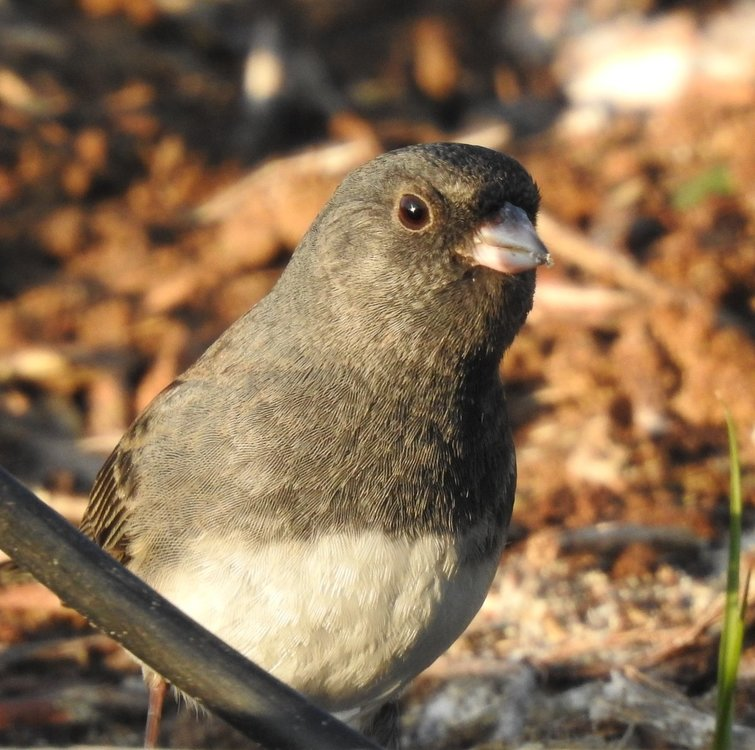 junco dark eyed (2).JPG
