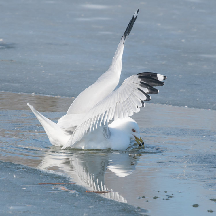 Ring-billed Gull Initial Catch HVT-754640.jpg