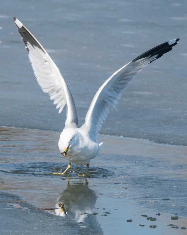 Ring-billed Gull Success HVT-754643.jpg