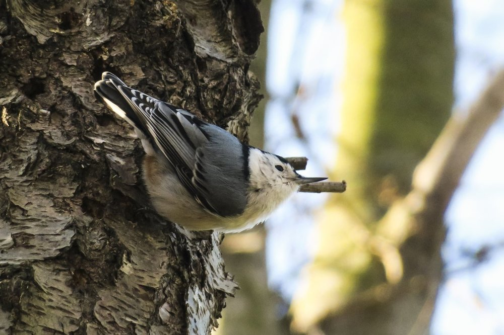 White-breasted Nuthatch 2.jpg