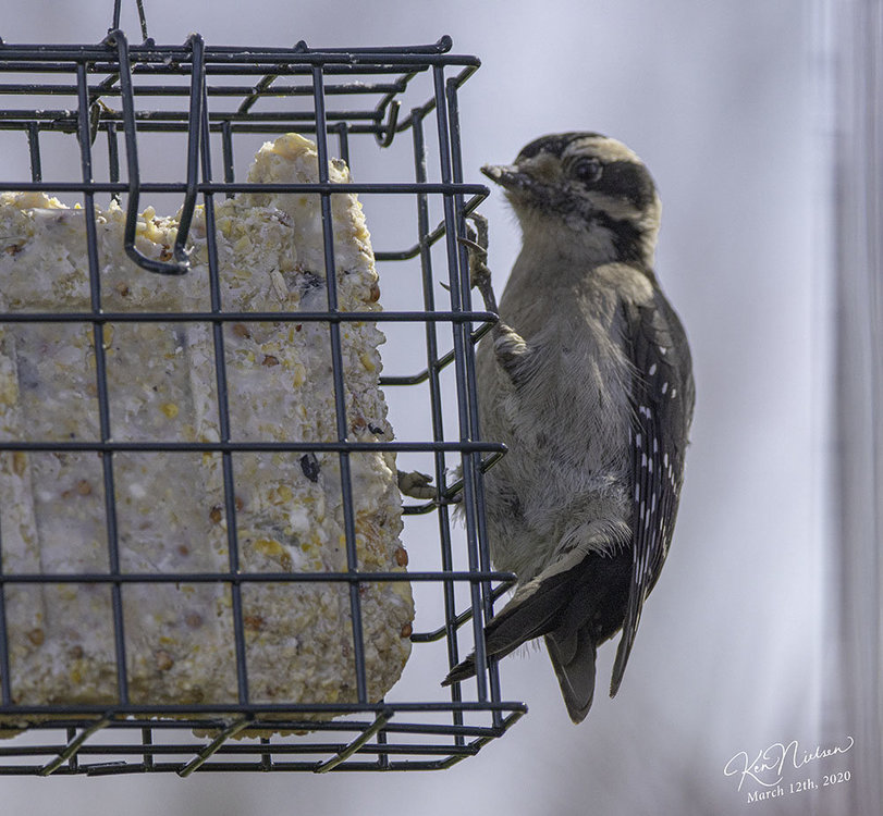 downy_woodpecker_6111.jpg