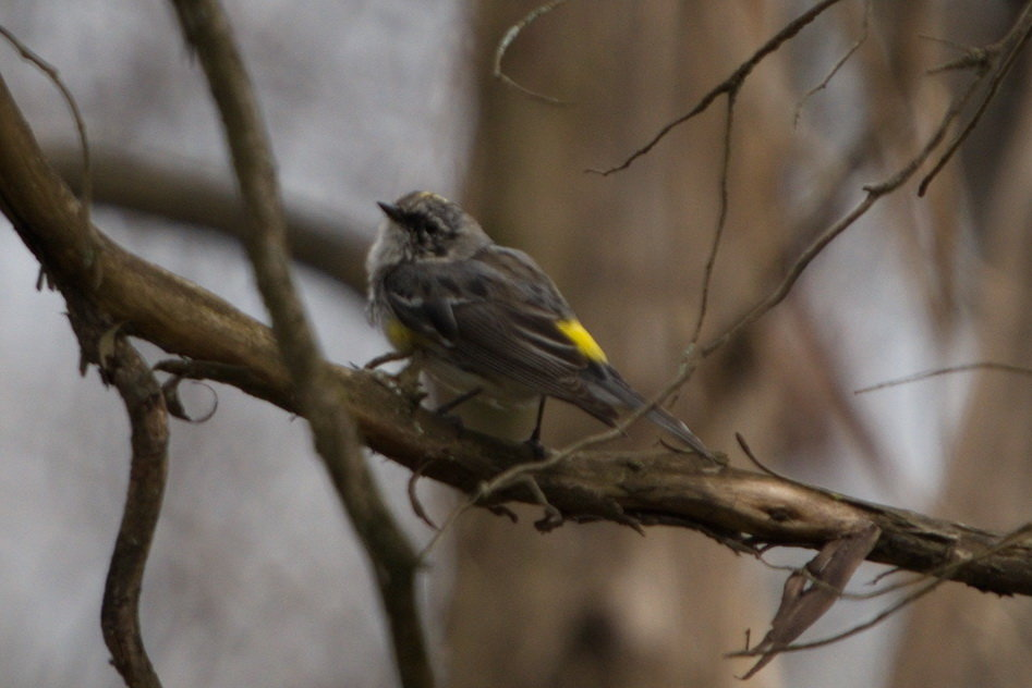 maybe Yellow-rumped warbler.jpg