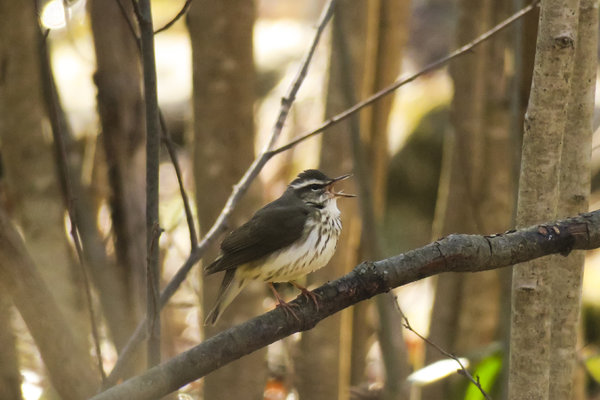 Loisiana Waterthrush.jpg