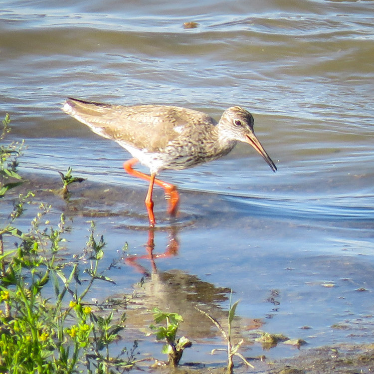 Common Redshank-3.jpg