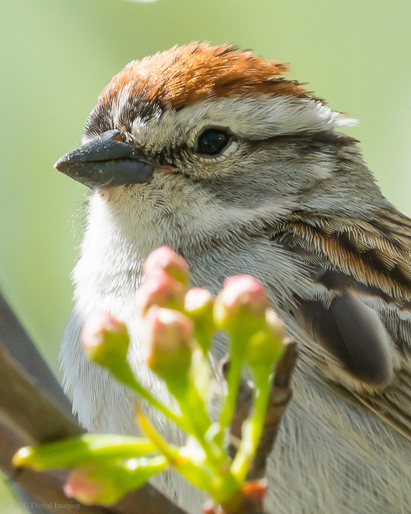 Chipping Sparrow 8x10 crop HVT-7226013.jpg
