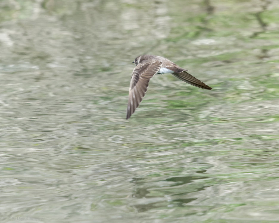 Northern Rough-winged Swallow if HVT 7224740 -.jpg