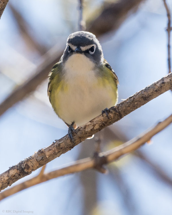 Blue-headed Vireo front HVT-7225185.jpg
