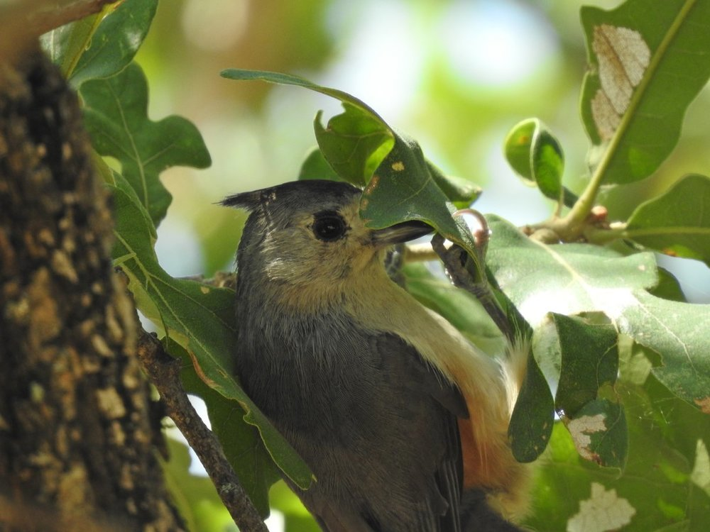 titmouse, black-crested x tufted hybrid (6).JPG