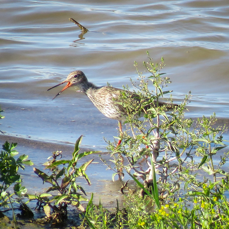 Common Redshank.jpg