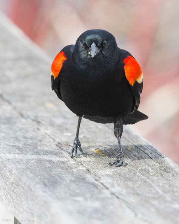 Red-winged Blackbird m S1 HVT-7225444.jpg