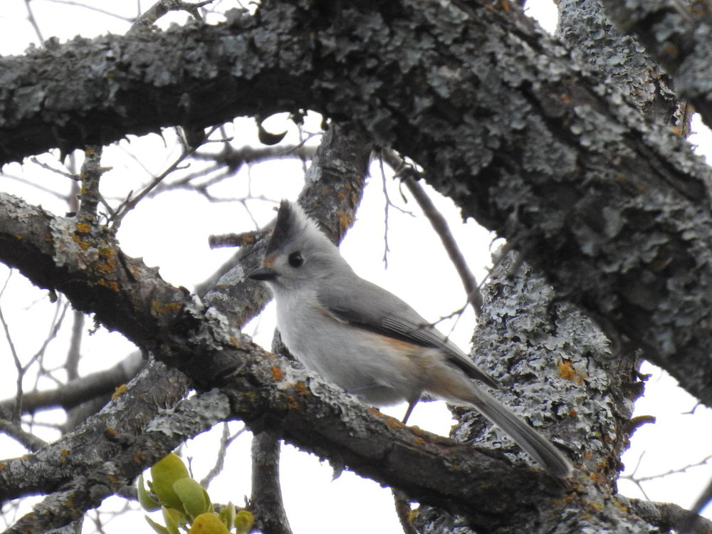 titmouse, black-crested x tufted hybrid (2).JPG