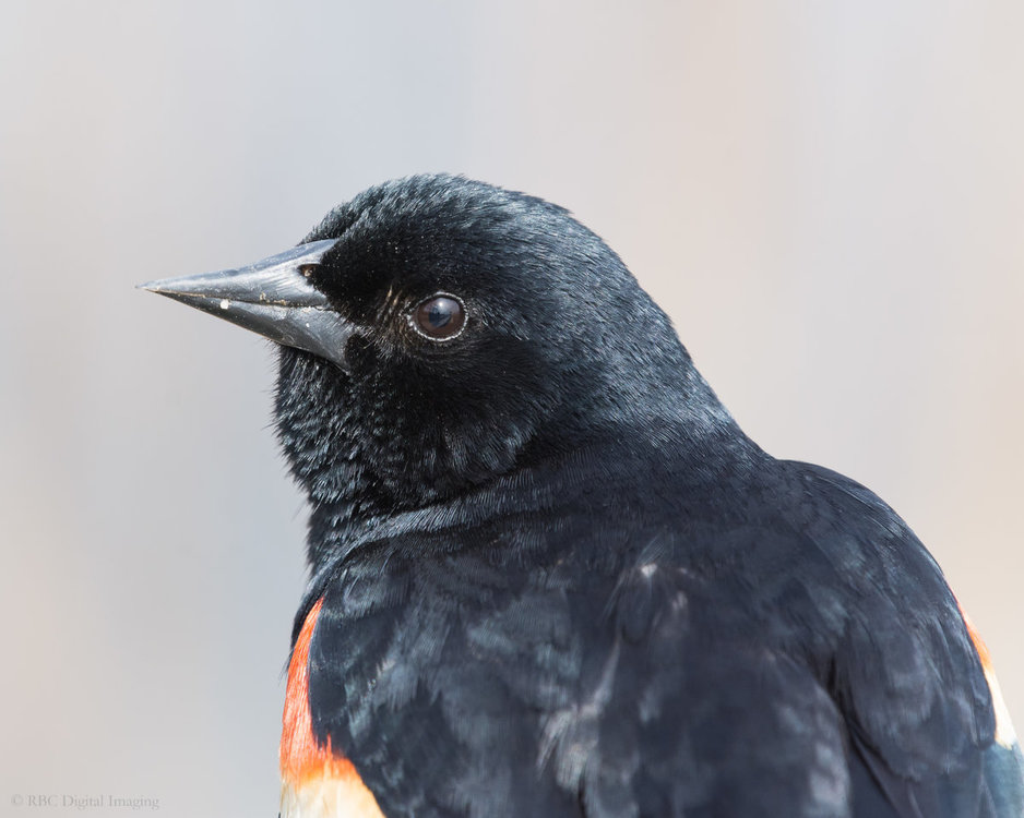 Red-winged Blackbird m S3 HVT-7225456.jpg
