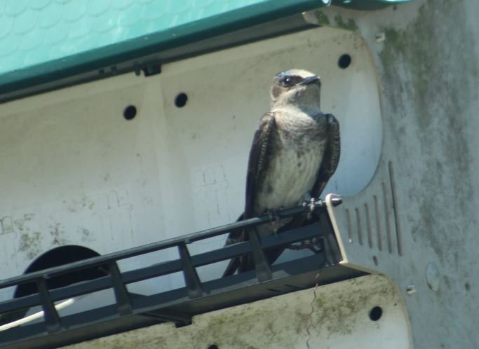 Female Purple Martin.JPG