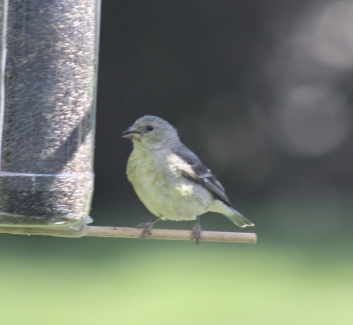 Juvenile Goldfinch? - Help Me Identify a North American ...