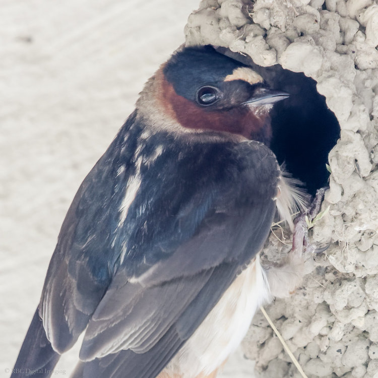 Cliff Swallow at nest 1x1 crop HAR 7227778-.jpg