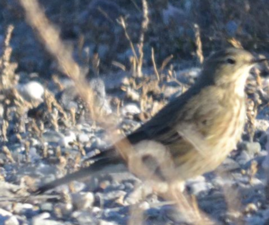 Possible American Pipit.png