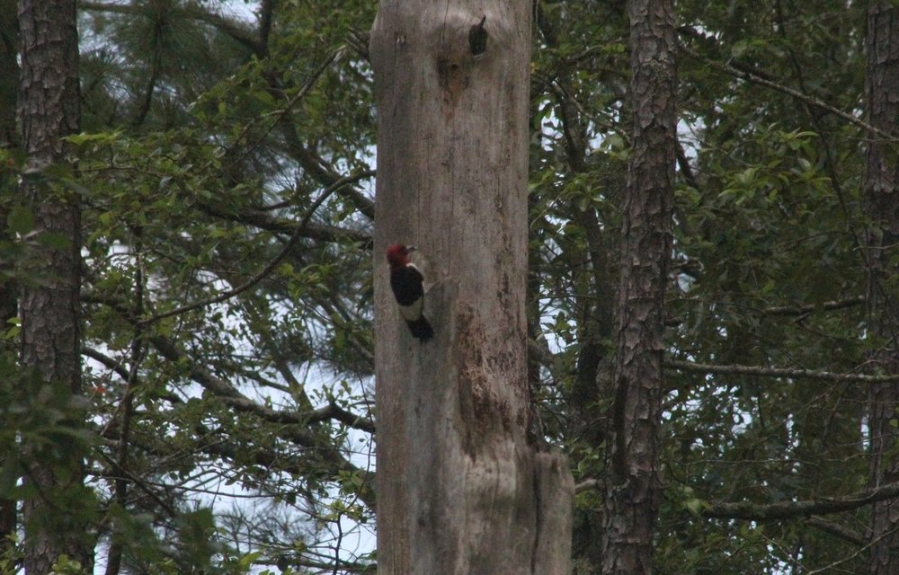 390. Red-headed Woodpecker (2).jpg