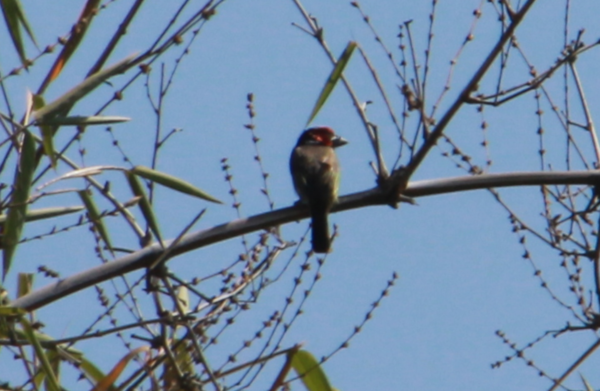 Zimbabwe - Bird Red Head - Pic 2.PNG
