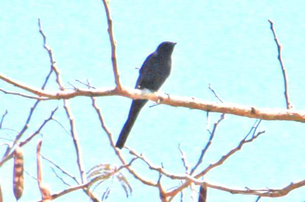 Zimbabwe - Black Bird Long Tail - Pic 1 Light - Copy.PNG