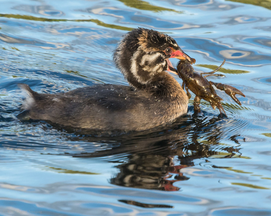 Pied-billed Grebe chick crawfish HVT-7230374.jpg
