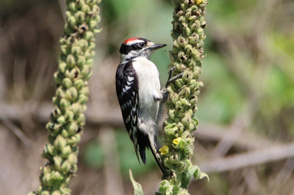 Downy woodpecker - Hiltop Reservation, NJ.JPG