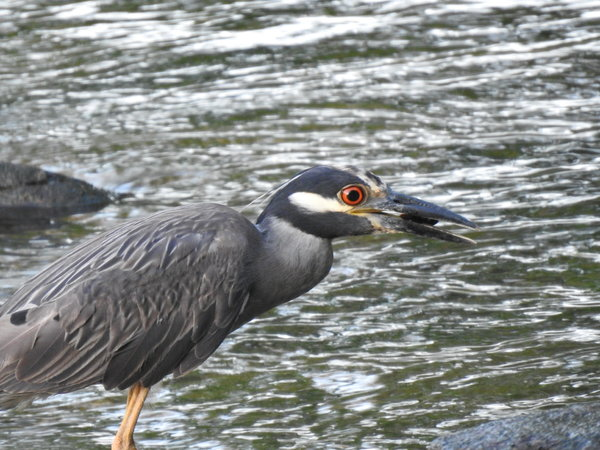 heron, yellow-crowned night-heron (47).JPG