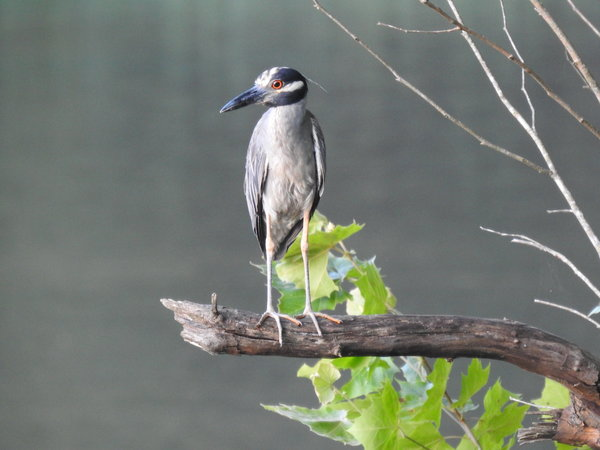 heron, yellow-crowned night-heron (30).JPG