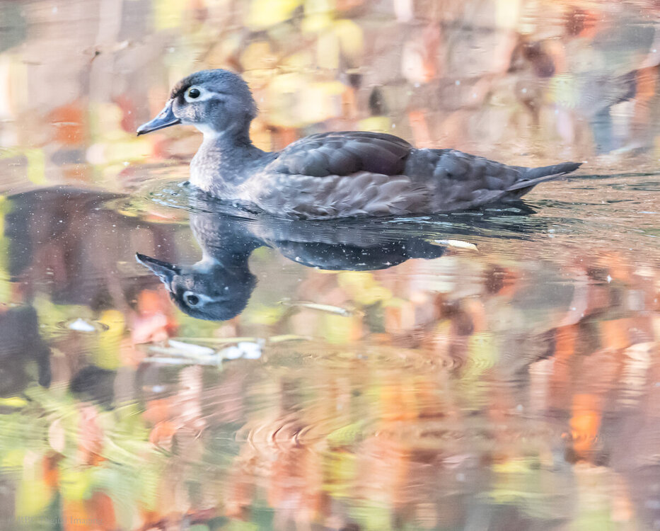 Wood Duck imm early fall HVT-750087.jpg