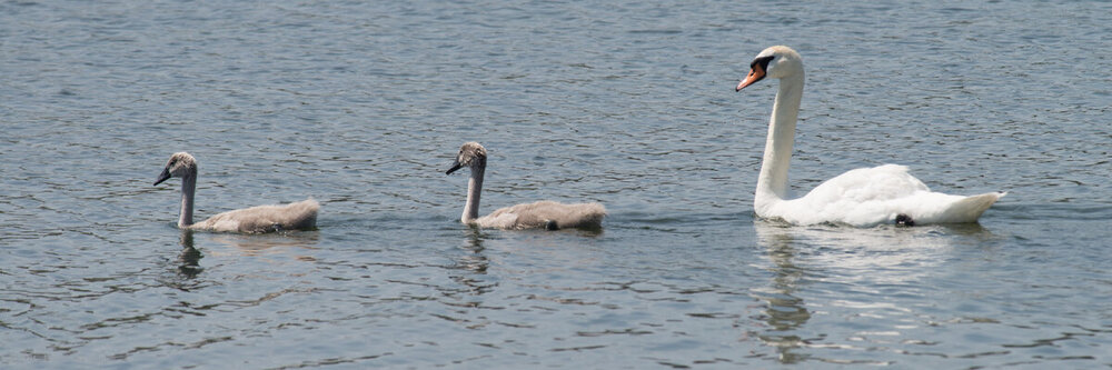 Whatbird No buoys Swans-6002714.jpg