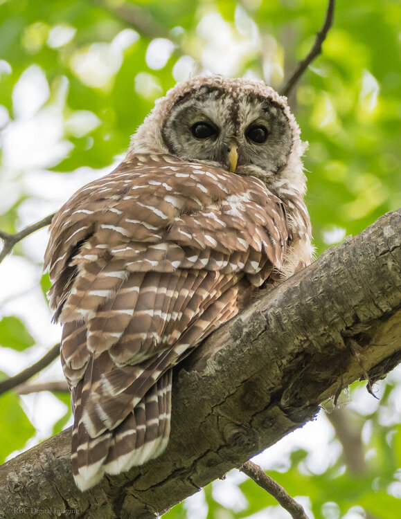 Barred Owl HVT-7501223.jpg