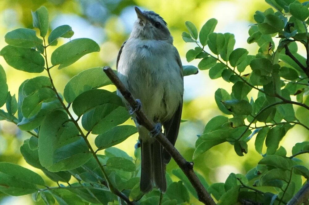 Red-eyed Vireo I think (2).JPG