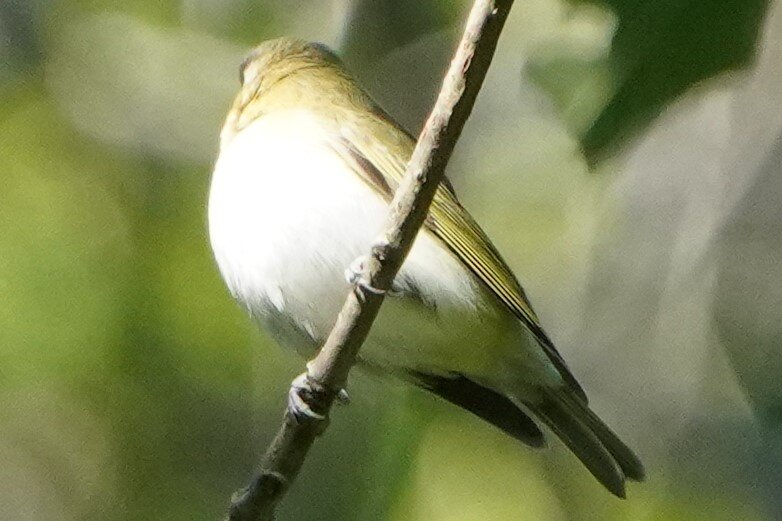 Maybe not red-eyed vireos (2).JPG