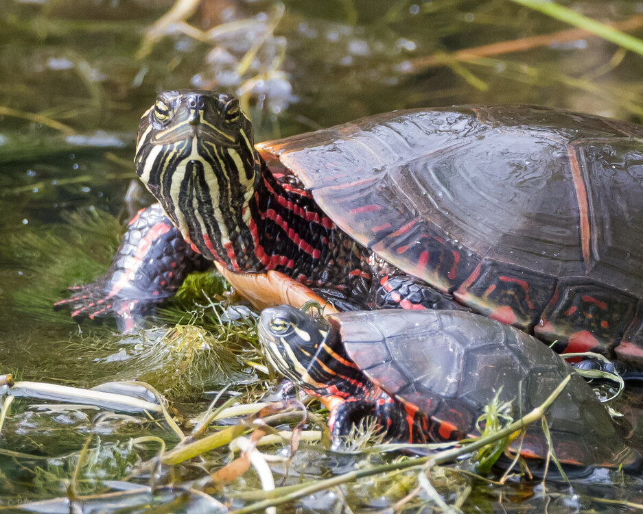 Painted Turtles HVT-7501193.jpg