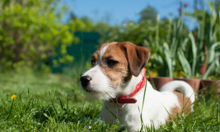 dog-in-red-collar-sitting-in-grass