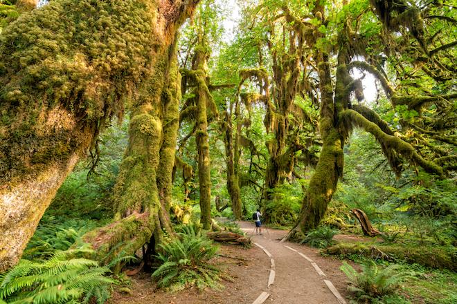 hoh-rainforest