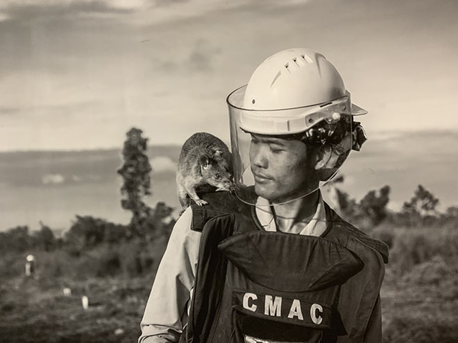 These-HeroRATS-Help-Save-Cambodians-by-Detecting-Landmines-APOPO-2