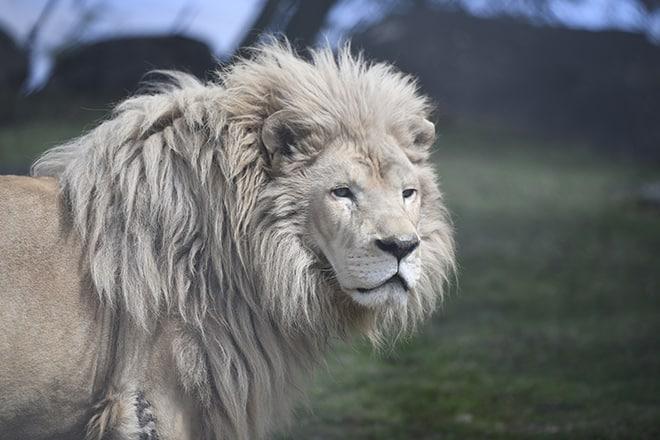 Louie_lion_002_Kathleen Reeder