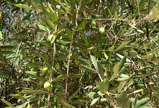 viva-glam-team-malorie-mackey-katarina-van-derham-ojai-olive-oil-company-olives-hanging-on-tree-1